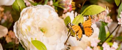 butterfly-saba